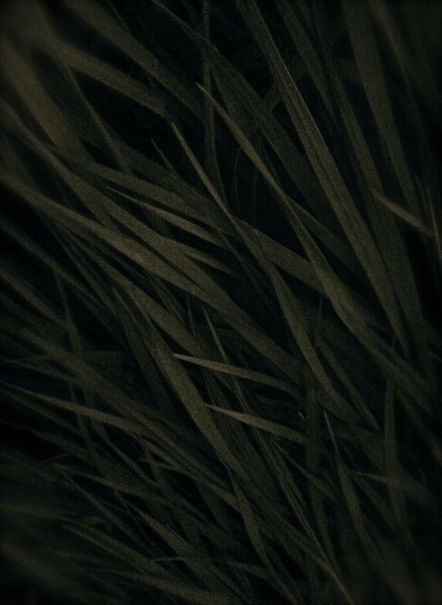 Tall Grass at Dusk