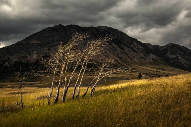 Photograph, Waterton Trees