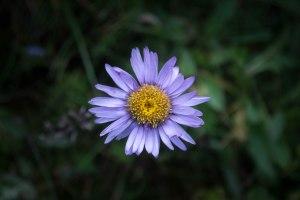 My Favourite Alpine Flower